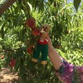 TG Ted picking peaches in Spain!
